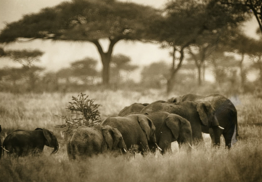 Herd of African elephants, photoby Eveyn Floret